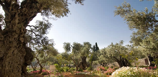 Pray in The Garden of Gethsemane during your Israel Christian tour